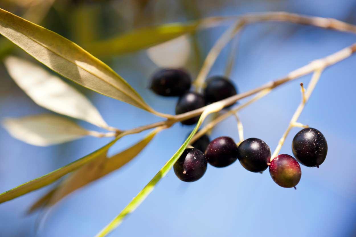 frutto olivo o ulivo