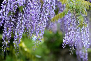 fiori pianta glicine